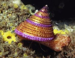 Rainbow top snail