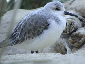Sanderling (c) Monterey Bay Aquarium