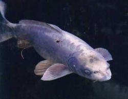 Fish_human_face_1