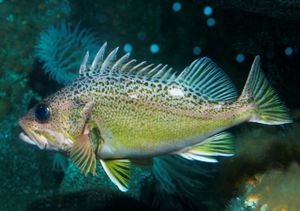 Green-spotted rockfish