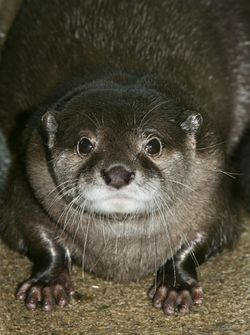 Dua the otter