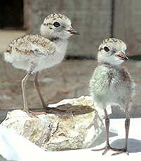 Plover chicks