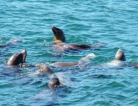 Sea lions - ali b