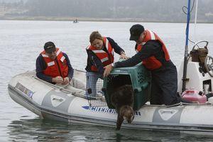 Sea otter release (Photo © Monterey Bay Aquarium)