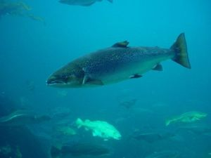 Wild Atlantic salmon
