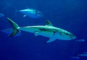 Randy Wilder Monterey Bay Aquarium Great White Shark