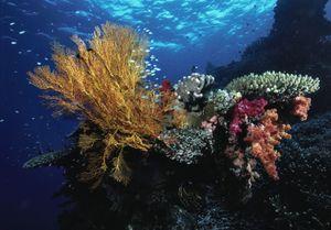 Seaborn coral
