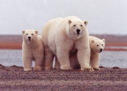 Susanne Miller - USFWS polar bears