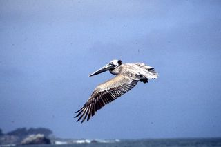 Brown Pelican - Alison Barratt