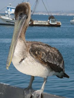 Pelican on wharf
