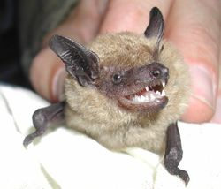 C-big-brown-bat