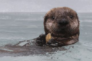 Kit (Photo © Monterey Bay Aquarium)