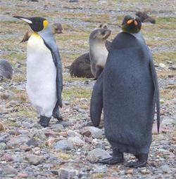 Black-penguin-andrew evans