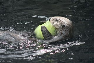 Kit (Photo © Monterey Bay Aquarium)