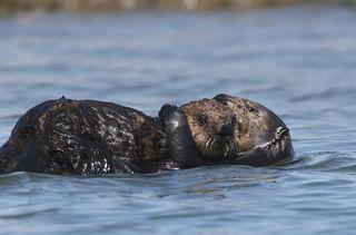 Sea otter pup