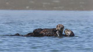 Sea otter pup 2
