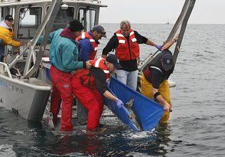 White shark release