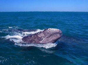 Geoff Shester gray whale