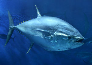 Bluefin r wilder