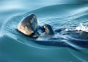 Sea otter monterey harbor