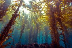 Kelp forest wild