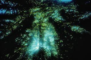 Seaborn kelp