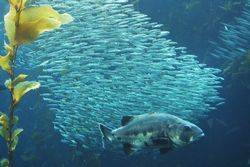 Bass sardines