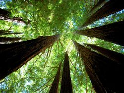Redwoods-richardmasoner
